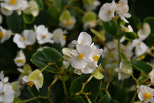 Close-up Of A White Begonia In The Shade, But On A Sunny Summer Day, With The Bokeh Of An Entire Bed Of Begonia Flowers.