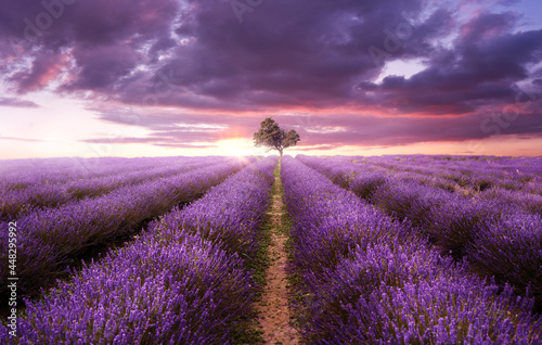 Rows of purple lavender in a field on a summers evening as the sun sets. UK, photo composite