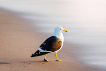 Seagull Walking On The Beach At Sunset