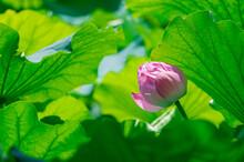 東京都台東区上野にある不忍池に咲く蓮の花
