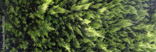 Billede på lærred Close-up of evergreen coniferous tree thuja background