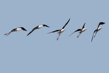 Photo Composition Of Black-winged Stilt (Himantopus Himantopus) In Flight