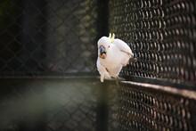 Cokato In Cage