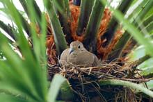 Morning Dove Nesting In Palm Tree