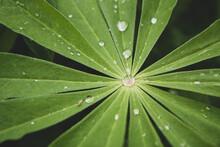 Morning Dew On The Leaf