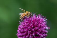 Bee On A Purple Flower Macro Photo