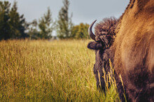 Following The Bison On A Summer Meadow In Yellowstone National Park
