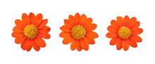 Set Of Orange Mexican Sunflower Isolated On White.