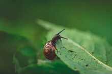 Snail Eating Green Leave, Green Blurred Natural Background. Slug With Shell House