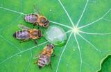 Fototapeta Kawa jest smaczna - honey bee, Apis mellifera drinking water from a dewy leaf
