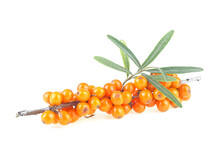 Sea Buckthorn. Fresh Ripe Berries With Green Leaves Isolated On A White Background. Hippophae Rhamnoides.