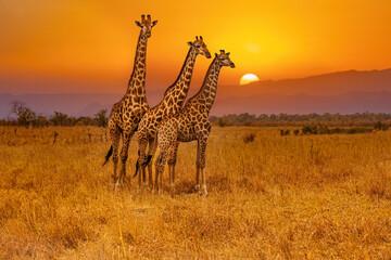 Three giraffes and an african sunset