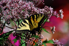 Tiger Swallowtail Butterfly Papilio Glaucus Feeding On The Nectar Of A Joe Pye Weed Eutrochium Purpureum In Southern Michigan