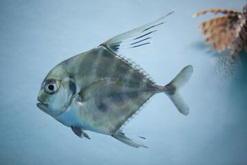 マナガツオ 人面魚