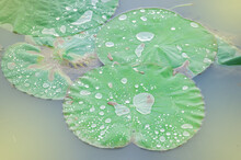 Raindrops On Lotus Leaves In The Pond And Fair Lighting