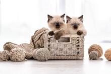 Ragdoll Kitten In The Basket With Yarn