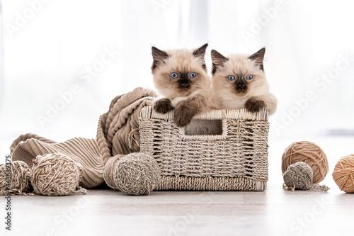 Fotografie, Tablou Ragdoll kitten in the basket with yarn