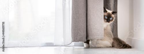 Tablou Canvas Ragdoll cat portrait