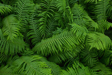 Fern, Green Plant, Background Of Leaves, Close-up