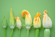Zucchini Flowers In Varying Degrees Of Disclosure.