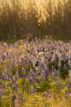 Bluebonnet Fields In The Texas Hill Country. Bluebonnets And Indian Paintbrush Near Ennis Texas