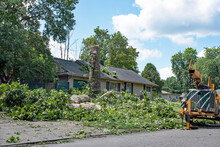 Felling Sycamore Tree After Storm