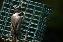 Bird On Feeder Filled With Suet