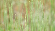 Elymus Repens, Commonly Known As Couch Grass, Is A Very Common Perennial Species Of Grass. Common Couch, Twitch, Quick, Quitch (also Just Quitch), Dog Or Scutch Grass, Quackgrass And Witchgrass.[