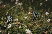 Swallowtail Butterflies Flying Through Windflowers