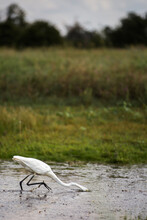 Great Egret With Head Under Water