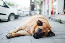 Cute Stray Dog Lay On The Street