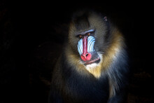 Close Up Of A Baboon Or Mandrill Face