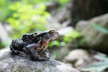 A Gray Frog On The Stones