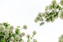 White Hydrangeas Reaching Towards The Sky