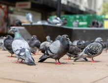 Group Of Pigeons On The Pavement
