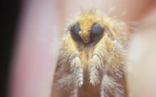 Orange Artaxa Moth
