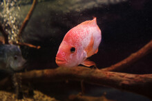 Close Up View Of Head Of Red Devil Cichlid