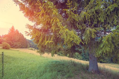 Bottom of a tall spruce on a mountainside in summer Fototapeta