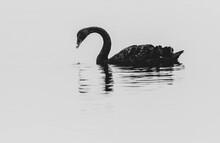 Closeup Of A Black Swan In A Lake Tekapo, New Zealand