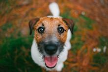Jack Russell Terrier Dog Close Portrait