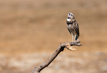 Burrowing Owl Yawning While Perched On A Branch Near Ontario California