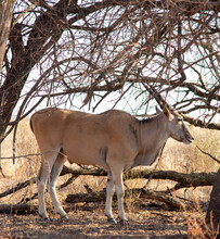 The Magnificent Eland Antelope, Photographed In The Rietvlei Nature Reserve, Gauteng, South Africa.