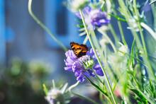 Butterfly Sitting On Cabiosa Caucasica Caucasian Pincushion Flower, Scabiosus Flowering Ornamental Light Blue Beautiful Garden Plant