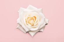 Beautiful Big White Rose