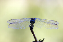 Macro Of Adult Blue Dasher Dragonfly (Pachydiplax Longipennis)