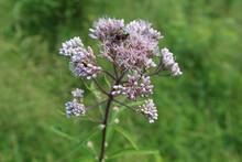 Japanese Beetle Feeding Off Of Joe Pye Weed Blooms At Miami Woods In Morton Grove, Illinois