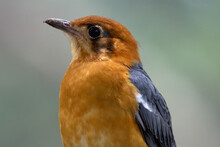 Close Up Of A Orange-headed Thrush (Geokichla Citrina) And A Natural Grey Background