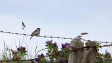 Male House Sparrow Bird On A Barbed Wire Fence Flying Off