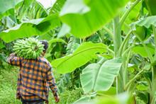 Asian Elderly Male Farmer Smiling Happily Holding Unripe Bananas And Harvesting Crops In The Banana Plantation Agricultural Concept: Senior Man Farmer With Fresh Green Bananas