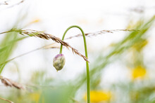Close Up Shot Of Flower Bud In The Meadow